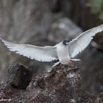 6192 Swallow-tailed Gull (Creagrus furcatus), South Plaza Island, Galapagos