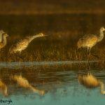 5640 Sunset, Sandhill Cranes (Grus canadensis), Bosque del Apache NWR, New Mexico