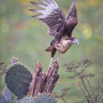 5480 Crested Caracara (Carcara cheriway), Rio Grande Valley, TX