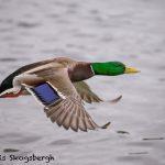 5611 Male Mallard (Anas platyryhnchos), Vancouver Island, Canada