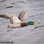 5613 Male Mallard (Anas platyryhnchos), Vancouver Island, Canada