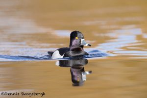 5615 Male Ring-necked Duck (Aythya collaris), Vancouver Island, Canada