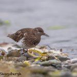 5616 Black Turnstone (Arenaria melanocephala), Victoria Island, Canada