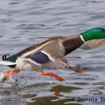 5617 Male Mallard (Anas platyryhnchos), Vancouver Island, Canada