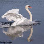 5618 Mute Swan (Cygnus olor), Vancouver Island, Canada