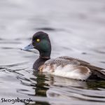5625 Male Lesser Scaup (Aythya affinis), Vancouver Island, Canada