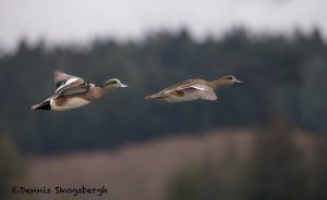 5628 American Wigeon Pair (Anas americana), Vancouver Island, Canada