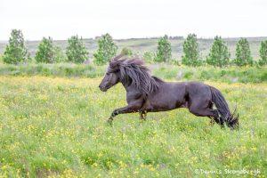 6089 Icelandic Horse