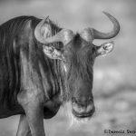 6194 Wildebeest, Serengeti, Tanzania