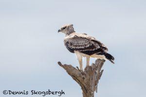 6195 Martial Eagle (Polemaetus bellicosus), Tanzania
