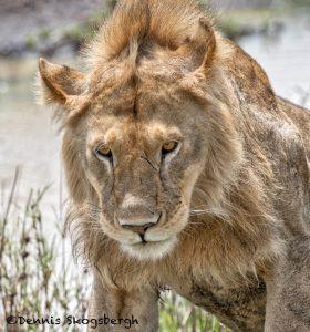 6196 Male Lion, Tanzania