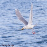 5286 Glaucous-winged Gull (Larus glaucescens), Homer, Alaska