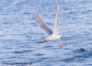 5286 Glaucous-winged Gull (Larus glaucescens), Homer, Alaska