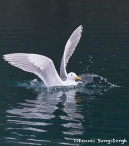 5287 Glaucous-winged Gull (Larus glaucescens), Homer, Alaska
