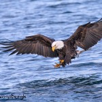 5288 Bald Eagle, Homer, Alaska