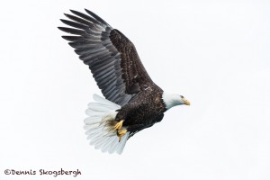 5289 Bald Eagle, Homer, Alaska