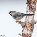 5478 Boreal Chickadee (Poecile hunsonicus), Alaska