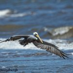 3298 Male Brown Pelican (Pelecanus occidentalis), Bolivar Peninsula, Texas