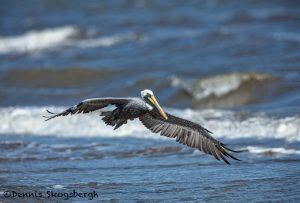 3298 Male Brown Pelican (Pelecanus occidentalis), Bolivar Peninsula, Texas
