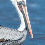 5646 Male Brown Pelican (Pelecanus occidentalis), Bolivar Peninsula), Texas