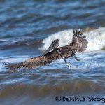 5649 Female Brown Pelican (Pelecanus occidentalis), Bolivar Peninsula, Texas