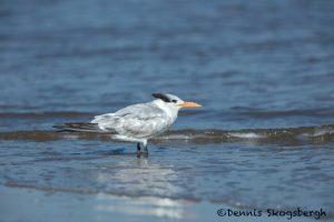 5651 Royal Tern (Thalasseus maximus), Bolivar Peninsula, Texas