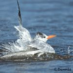 5652 Royal Tern (Thalasseus maximus), Bolivar Peninsula, Texas