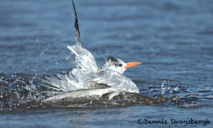 5652 Royal Tern (Thalasseus maximus), Bolivar Peninsula, Texas