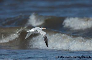 5654 Royal Tern (Thalasseus maximus), Bolivar Peninsula, Texas