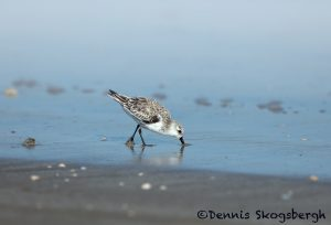 5655 Sanderling (Calidris alba), Bolivar Peninsula, Texas