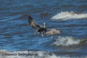 5656 Male Brown Pelican (Pelecanus occidentalis), Bolivar Peninsula, Texas