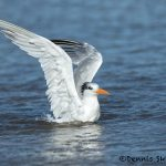 5657 Royal Tern (Thalasseus maximus), Bolivar Peninsula, Texas