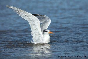 5657 Royal Tern (Thalasseus maximus), Bolivar Peninsula, Texas