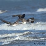 5658 Brown Pelicans (Pelecanus occidentalis), Bolivar Peninsula, Texas
