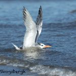 5659 Royal Tern (Thalasseus maximus), Bolivar Peninsula, Texas