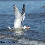 5659 Royal Tern (Thalasseus maximus), Bolivar Peninsula, Texas
