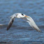5660 Royal Tern (Thalasseus maximus), Bolivar Peninsula, Texas