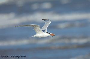5662 Royal Tern (Thalasseus maximus), Bolivar Peninsula, Texas