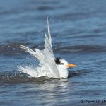 5663 Royal Tern (Thalasseus maximus), Bolivar Peninsula, Texas