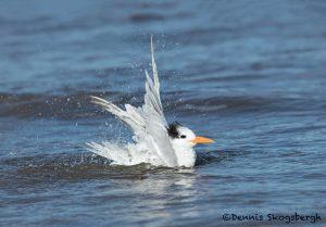 5663 Royal Tern (Thalasseus maximus), Bolivar Peninsula, Texas