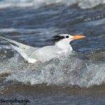5664 Royal Tern (Thalasseus maximus), Bolivar Peninsula, Texas