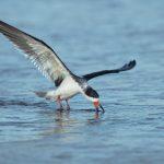 5665 Black Skimmer (Rynchops niger), Bolivar Peninsula, Texas
