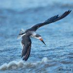 5666 Black Skimmer (Rynchops niger), Bolivar Peninsula, Texas