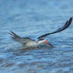 5667 Black Skimmer (Rynchops niger), Bolivar Peninsula, Texas