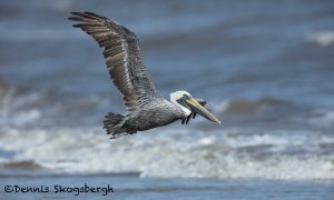 5678 Male Brown Pelican (Pelecanus occidentalis), Bolivar Peninsula, Texas