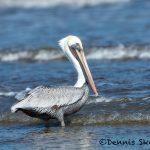 5671 Male Brown Pelican (Pelecanus occidentalis), Bolivar Peninsula, Texas