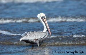 5671 Male Brown Pelican (Pelecanus occidentalis), Bolivar Peninsula, Texas