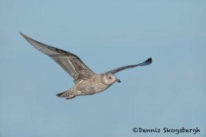 5674 Glaucous Gull (Larus hyperboreus), Bolivar Peninsula, Texas, November