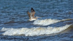 5677 Female Brown Pelican (Pelecanus occidentalis), Bolivar Peninsula, Texas