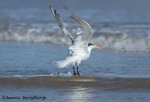 5681 Royal Tern (Thalasseus maximus), Bolivar Peninsula, Texas